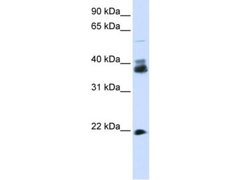 Western Blotting (WB) image for anti-Synaptophysin antibody (SYP) (N-Term) (ABIN502628)