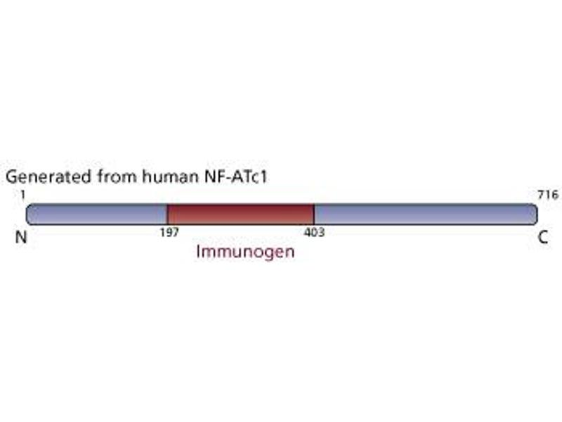 image for anti-NFATC1 antibody (Nuclear Factor of Activated T-Cells, Cytoplasmic, Calcineurin-Dependent 1) (ABIN967559)