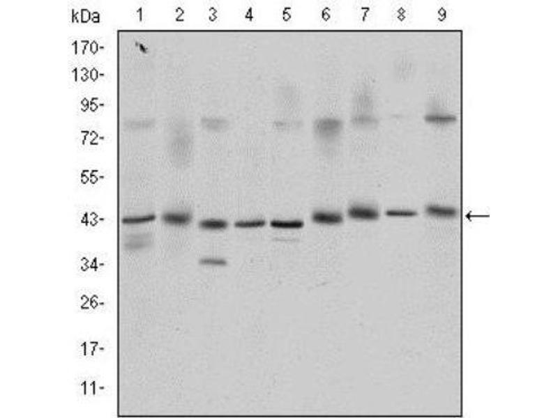 Western Blotting (WB) image for anti-cAMP Responsive Element Binding Protein 1 (CREB1) antibody (ABIN4300443)