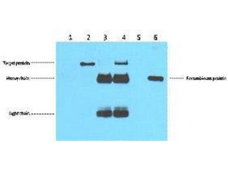 Image no. 2 for anti-DYKDDDDK Tag antibody (ABIN3181074)