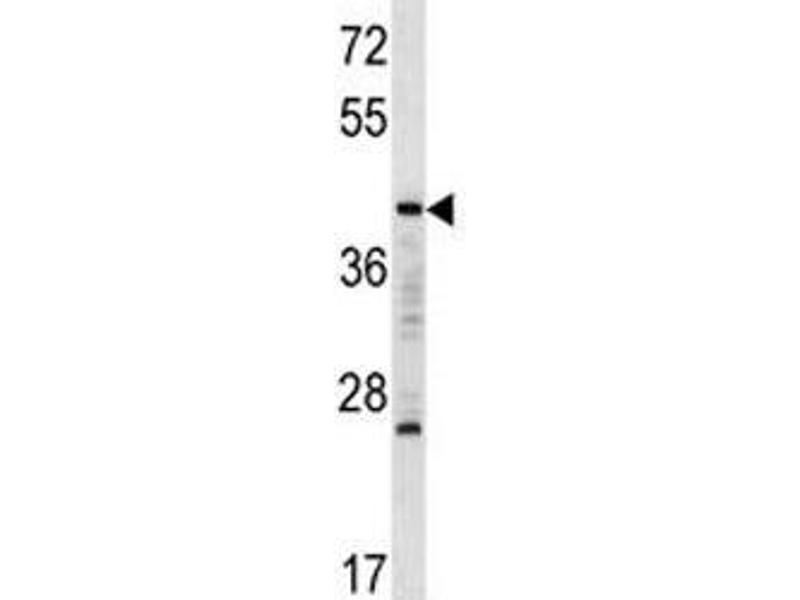 Image no. 1 for anti-V-Maf Musculoaponeurotic Fibrosarcoma Oncogene Homolog A (Avian) (MAFA) (AA 286-315) antibody (ABIN3029526)