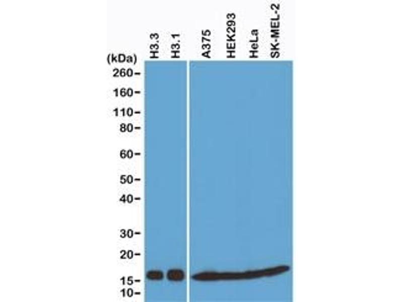 Image no. 4 for anti-Histone Cluster 3, H3 (HIST3H3) (C-Term), (pan) antibody (ABIN4953364)