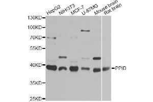Image no. 1 for anti-Peptidylprolyl Isomerase D (PPID) antibody (ABIN6570803)