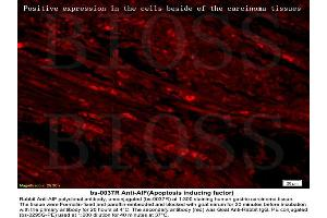 Immunofluorescence (IF) image for anti-AIFM1 antibody (Apoptosis-Inducing Factor, Mitochondrion-Associated, 1) (AA 130-180) (ABIN724010)