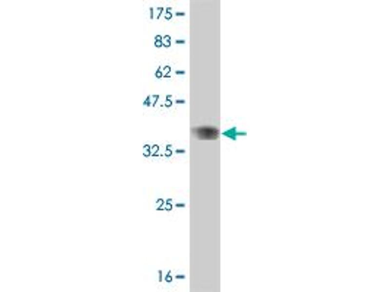 Image no. 3 for anti-V-Myb Myeloblastosis Viral Oncogene Homolog (Avian)-Like 2 (MYBL2) (AA 601-700) antibody (ABIN518124)