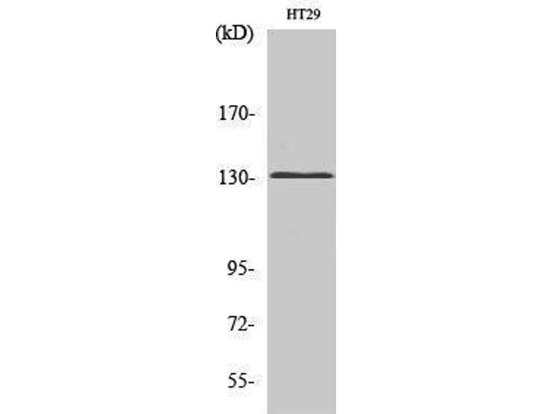 Western Blotting (WB) image for anti-Glutamate Receptor, Metabotropic 5 (GRM5) (N-Term) antibody (ABIN3185549)