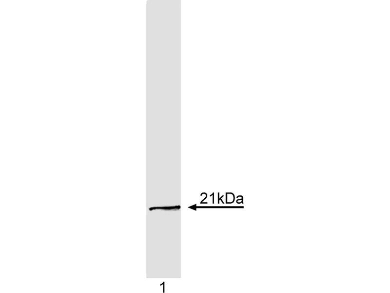 Western Blotting (WB) image for anti-K-RAS antibody (GTPase Kras) (ABIN967448)