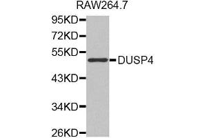 Image no. 1 for anti-Dual Specificity Phosphatase 4 (DUSP4) antibody (ABIN3016540)