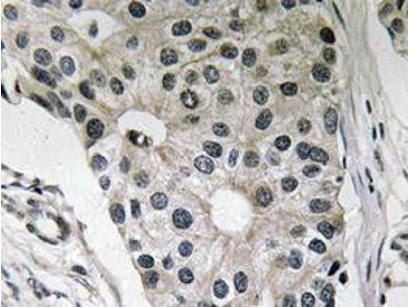Immunohistochemistry (Paraffin-embedded Sections) (IHC (p)) image for anti-Leptin antibody (LEP) (ABIN498515)