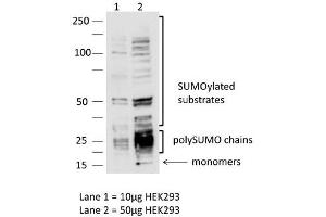 Image no. 3 for anti-SMT3 Suppressor of Mif Two 3 Homolog 3 (S. Cerevisiae) (SUMO3) (N-Term) antibody (ABIN2782380)