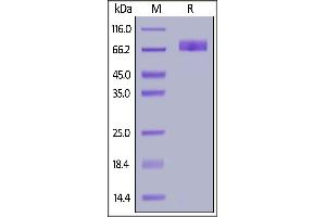 Image no. 2 for Inducible T-Cell Co-Stimulator Ligand (ICOSLG) (AA 19-256) (Active) protein (Fc Tag) (ABIN6938825)