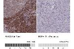 Immunohistochemistry (Paraffin-embedded Sections) (IHC (p)) image for anti-RAS Protein Activator Like 3 (RASAL3) antibody (ABIN4349405)