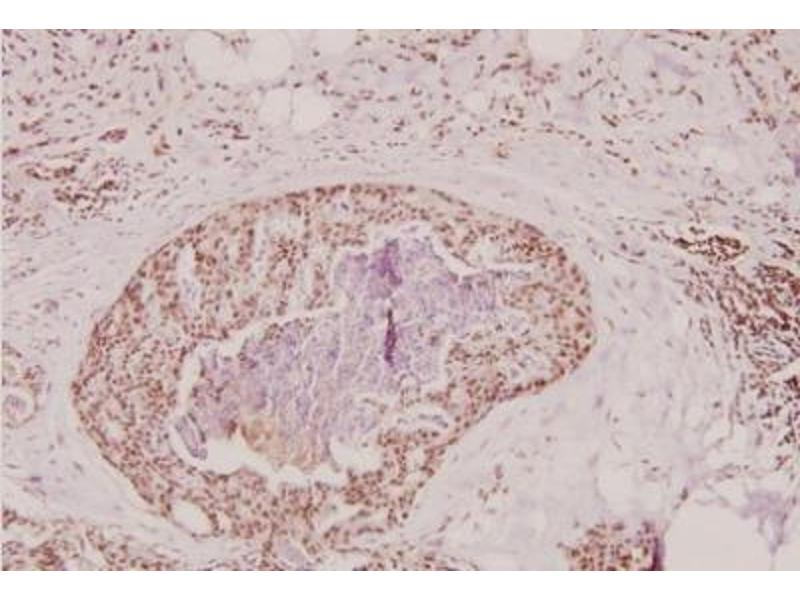 Immunohistochemistry (Paraffin-embedded Sections) (IHC (p)) image for anti-Prothrombin antibody (Coagulation Factor II (thrombin)) (ABIN314761)