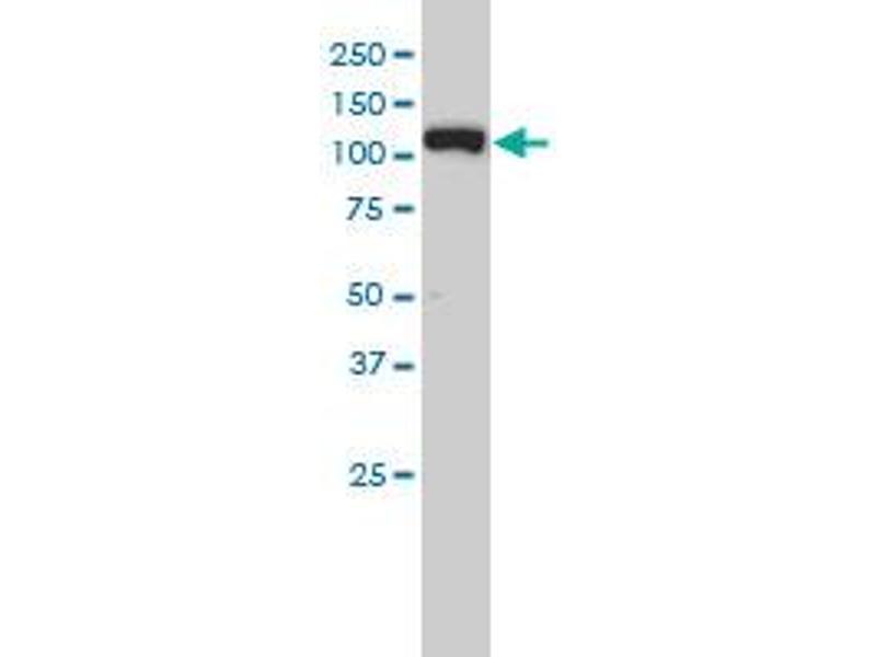 Western Blotting (WB) image for anti-Exportin 5 (XPO5) (AA 1-280), (full length) antibody (ABIN566124)