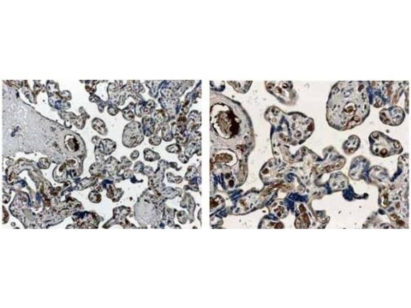 Immunohistochemistry (IHC) image for anti-Angiopoietin 1 antibody (ANGPT1) (ABIN259879)