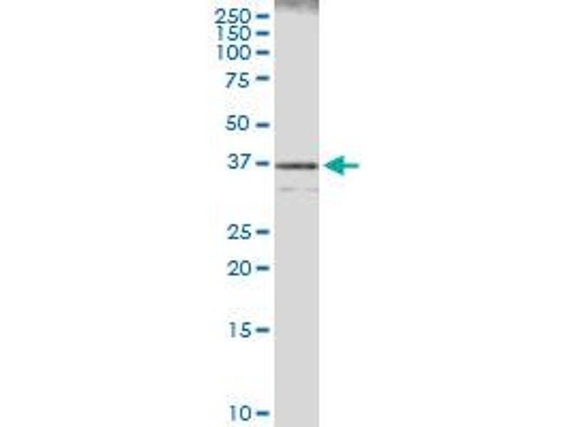 Immunoprecipitation (IP) image for anti-Caspase 7, Apoptosis-Related Cysteine Peptidase (CASP7) (AA 1-303), (full length) antibody (ABIN514025)