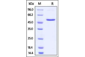 Image no. 1 for Tumor Necrosis Factor (Ligand) Superfamily, Member 9 (TNFSF9) (AA 50-254) (Active) protein (Fc Tag) (ABIN2870603)