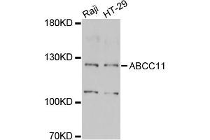 Image no. 1 for anti-ATP-Binding Cassette, Sub-Family C (CFTR/MRP), Member 11 (ABCC11) antibody (ABIN2560870)