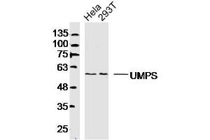 Image no. 1 for anti-Uridine Monophosphate Synthetase (UMPS) (AA 351-450) antibody (ABIN5675133)