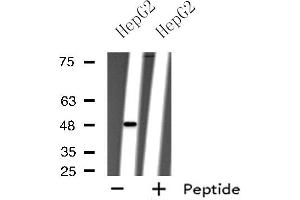 Image no. 1 for anti-Purinergic Receptor P2Y, G-Protein Coupled, 11 (P2RY11) antibody (ABIN6259143)
