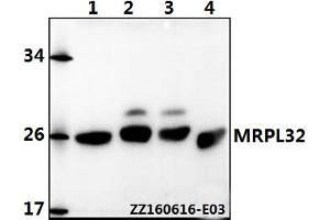 Image no. 1 for anti-Mitochondrial Ribosomal Protein L32 (MRPL32) (AA 105-149) antibody (ABIN6711144)