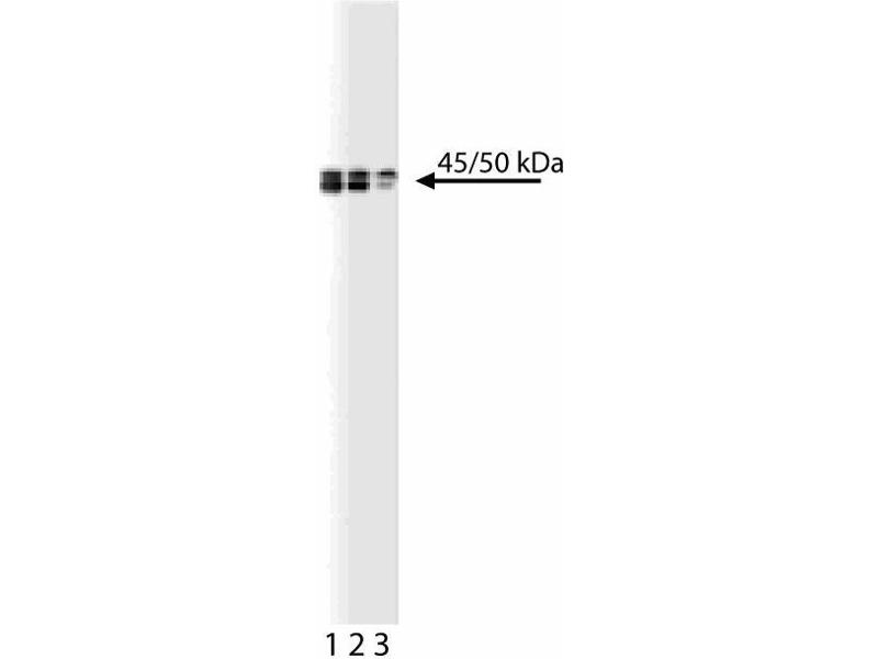Western Blotting (WB) image for anti-BCCIP antibody (BRCA2 and CDKN1A Interacting Protein) (AA 139-260) (ABIN968821)
