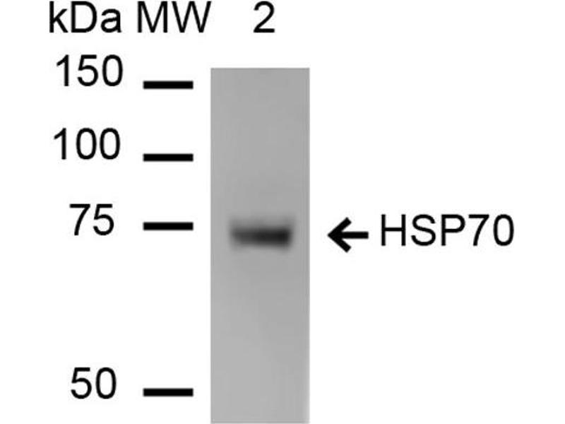 Western Blotting (WB) image for anti-Heat Shock Protein 70 (HSP70) antibody (PE-Atto 594) (ABIN5066943)