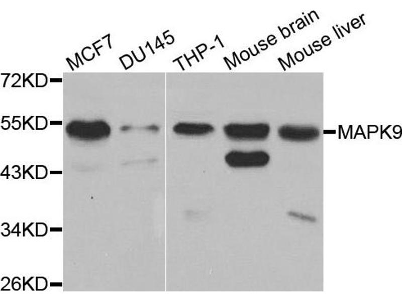 Western Blotting (WB) image for anti-MAPK9 antibody (Mitogen-Activated Protein Kinase 9) (ABIN1873633)