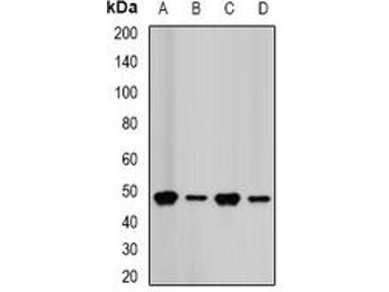 Western Blotting (WB) image for anti-Farnesyl Diphosphate Synthase (FDPS) antibody (ABIN2966631)
