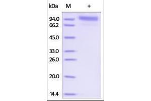 Image no. 1 for Receptor tyrosine-protein kinase erbB-2 (ErbB2/Her2) (AA 23-652) (Active) protein (Strep Tag) (ABIN3071729)