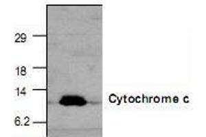 Western Blotting (WB) image for anti-Cytochrome C antibody (Cytochrome C, Somatic) (ABIN223076)