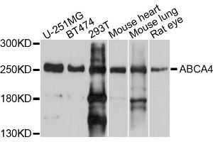 Image no. 1 for anti-ATP-Binding Cassette, Sub-Family A (ABC1), Member 4 (ABCA4) antibody (ABIN6566982)