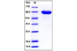 Image no. 1 for EPH Receptor A6 (Epha6) (AA 1-546), (Extracellular Domain) (Active) protein (His tag) (ABIN2008078)