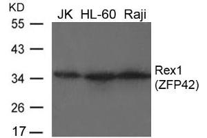 Image no. 1 for anti-Zinc Finger Protein 42 (ZFP42) (AA 10-14) antibody (ABIN6267790)