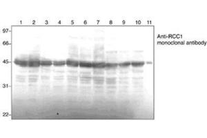 Western Blotting (WB) image for anti-Regulator of Chromosome Condensation 1 (RCC1) antibody (ABIN4349738)
