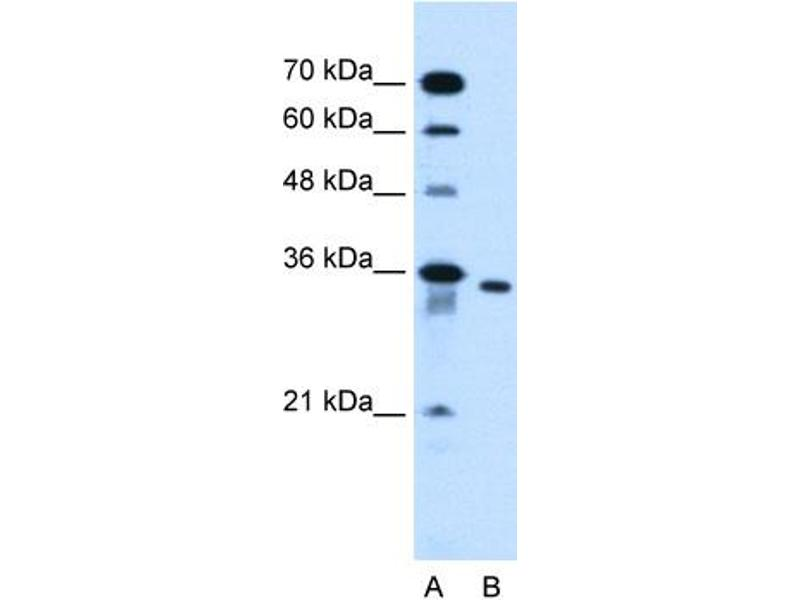 Western Blotting (WB) image for anti-Solute Carrier Family 25, Member 32 (SLC25A32) (N-Term) antibody (ABIN2781692)