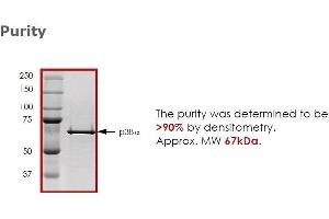 Image no. 1 for Mitogen-Activated Protein Kinase 14 (MAPK14) (Active) protein (ABIN411963)