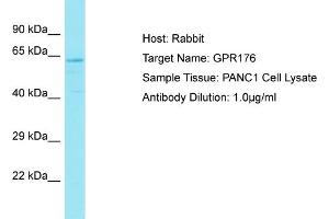 Image no. 1 for anti-G Protein-Coupled Receptor 176 (GPR176) (C-Term) antibody (ABIN2791564)