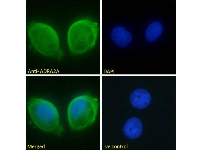 Immunofluorescence (IF) image for anti-Adrenergic, alpha-2A-, Receptor (ADRA2A) (Internal Region) antibody (ABIN185577)