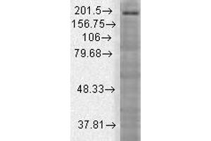 Western Blotting (WB) image for anti-SH3 and Multiple Ankyrin Repeat Domains 3 (SHANK3) (AA 840-857) antibody (ABIN863129)