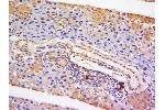 Immunohistochemistry (Paraffin-embedded Sections) (IHC (p)) image for anti-Signal Transducer and Activator of Transcription 5A (STAT5A) (AA 70-120) antibody (ABIN738276)