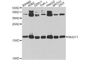 Image no. 1 for anti-Nudix (Nucleoside Diphosphate Linked Moiety X)-Type Motif 1 (NUDT1) antibody (ABIN6144926)