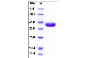 Image no. 1 for Protease, serine, 8 (PRSS8) (AA 30-322), (Mature) (Active) protein (His tag) (ABIN2002505)