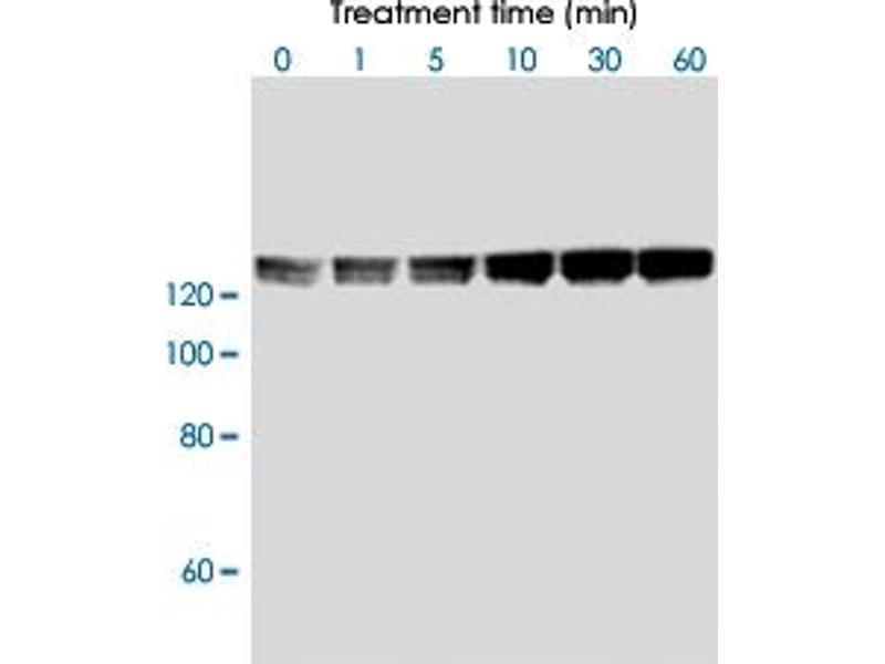 Image no. 1 for anti-Myosin Phosphatase, Target Subunit 1 (PPP1R12A) (pThr853) antibody (ABIN537186)