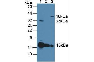 Western Blotting (WB) image for anti-Cytochrome C, Somatic (CYCS) (AA 5-100) antibody (ABIN2898069)
