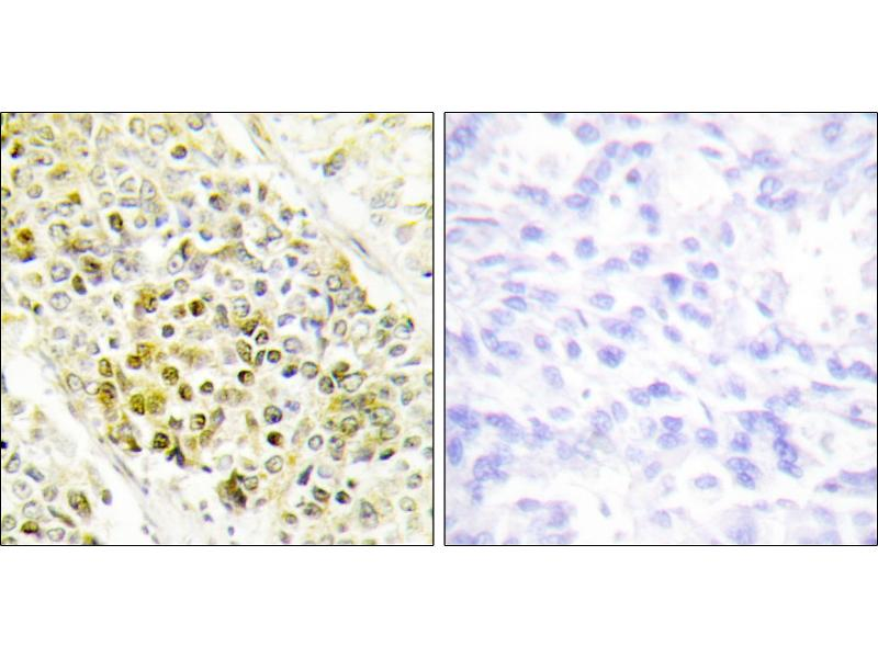 Image no. 1 for anti-Distal-Less Homeobox 5 (DLX5) antibody (ABIN1576089)