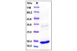 image for Tumor Necrosis Factor (TNF) (AA 77-233) (Active) Protein (ABIN2003118)