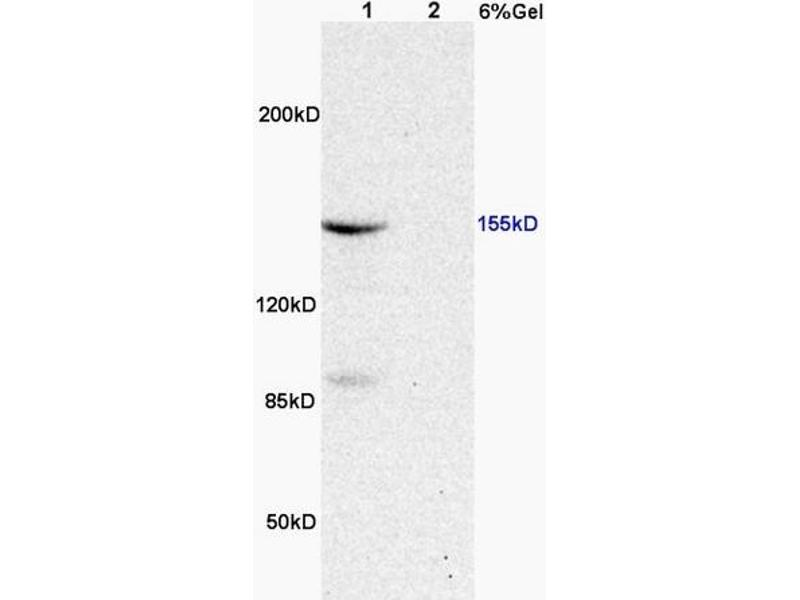 SDS-PAGE (SDS) image for anti-Mitogen-Activated Protein Kinase Kinase Kinase 5 (MAP3K5) (AA 825-875), (pThr845) antibody (ABIN683128)