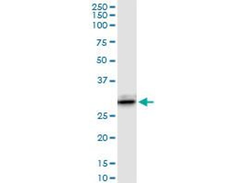 Western Blotting (WB) image for anti-Lectin, Galactoside-Binding, Soluble, 3 (LGALS3) (AA 1-250), (full length) antibody (ABIN517488)