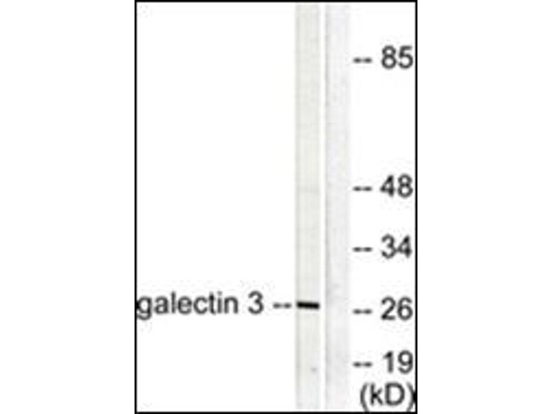 Western Blotting (WB) image for anti-Galectin 3 antibody (Lectin, Galactoside-Binding, Soluble, 3) (Internal Region) (ABIN784215)